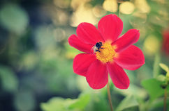 Bumblebee on red flower. Fluffy striped bumblebee collects nectar sitting on a red beautiful flower stock images