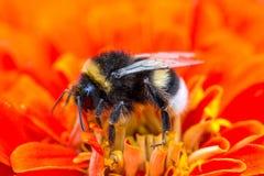 Bumblebee on red flower, macro shot Stock Photo