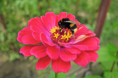 Bumblebee on red gerber Stock Images