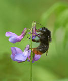 Bumblebee resting. Stock Images