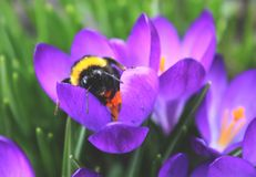 Bumblebee in the middle of the flower. Royalty Free Stock Photos