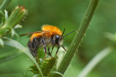 Bumblebee resting on a  plant. Stock Photo
