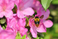 Bumblebee and rhododendron Stock Photo