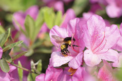 Bumblebee and rhododendron Royalty Free Stock Photography
