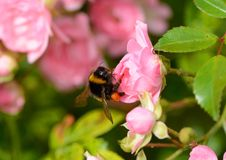Bumblebee on rose blossom Stock Images