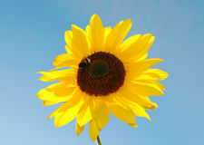 bumblebee słonecznik Zdjęcie Stock