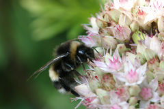 Bumblebee on sedum. A bumblebee busy looking for food on a sedum plant Stock Image