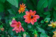 A Bumblebee on a showy summer Dahlia flower royalty free stock photography