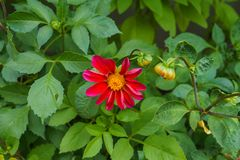 A Bumblebee on a showy summer Dahlia flower stock photography