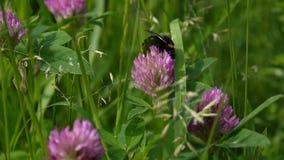 Bumblebee siedzi na czerwonej koniczyny kwiacie Zamyka w górę wideo Strzelać statyczna kamera zbiory