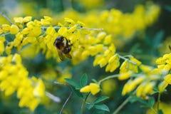 Bumblebee siedzi na roślinie fotografia stock