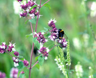 Bumblebee sits on blossom field wlowers closeup Royalty Free Stock Photos