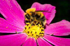 Bumblebee sits on a flower with bright purple petals and there is yellow pollen. Macro Royalty Free Stock Photos