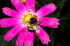 Bumblebee sits on a flower with bright purple petals and there is yellow pollen. Macro Stock Photo