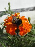 The bumblebee sits on a flower of orange color. Pollination of flowers. Garden plants royalty free stock image