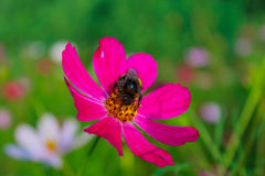 Bumblebee sits on a flower Zinnia Stock Photo