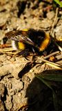 Bumblebee sits on the ground on the background of last year`s leaves close-up royalty free stock photo