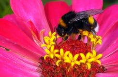 Bumblebee Royalty Free Stock Photo