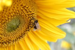 The bumblebee sits on the sunflower Royalty Free Stock Images