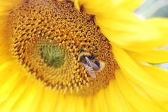 The bumblebee sits on the sunflower Royalty Free Stock Image