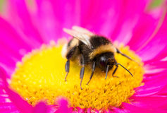 A bumblebee sitting on aster flower Royalty Free Stock Image