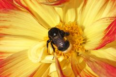Bumblebee sitting on the bright dahlia flower on a warm sunny day royalty free stock image