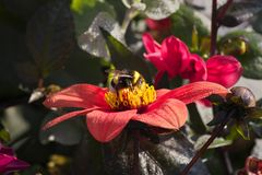 Bumblebee sitting on the bright red dahlia flower with water drops on petals on a warm sunny day royalty free stock images