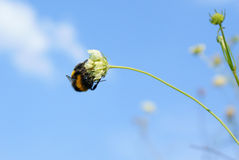 Bumblebee sitting on a flower against the sky Royalty Free Stock Images