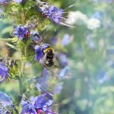 Bumblebee sitting on a flower of the blue flower. Blurred green background Stock Photography