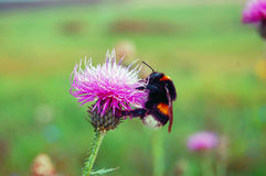 Bumblebee sitting on flower Royalty Free Stock Images