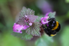 Bumblebee sitting on a hemp-nettle flower Stock Image