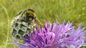 A bumblebee sitting on Knapweed flower Royalty Free Stock Photos