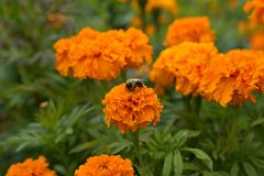 Bumblebee is sitting on a marigolds flower. The flower garden in August. The bumblebee sips at marigolds flower. Оrange flowers tagetes in the flowering period Royalty Free Stock Photo