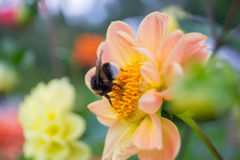 Bumblebee sitting in orange flower dahlia garden Stock Photos