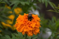 Bumblebee is sitting on an orange flower. The flower garden in August. The bumblebee sips at marigolds flower. Оrange flowers tagetes in the flowering period Stock Photos