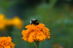 Bumblebee is sitting on an orange flower tagetes. The flower garden in August. The bumblebee sips at marigolds flower. Оrange flowers tagetes in the flowering Stock Photos