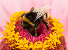 A bumblebee sitting on pink flower Stock Images
