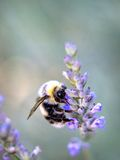A bumblebee sitting on a purple flower Stock Image