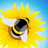 Bumblebee sitting on sunflower Royalty Free Stock Photography