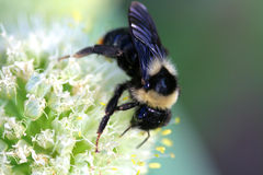 Bumblebee sitting. On white onion flower Royalty Free Stock Photo