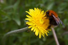 Bumblebee, collects nectar. royalty free stock photo