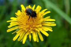Bumblebee sitting on a yellow dandelion flower close-up with a blurred background royalty free stock photos