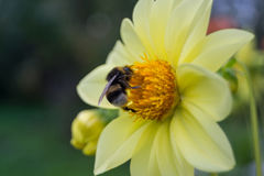 Bumblebee sitting on a yellow flower dahlia. Bumblebee (Bombus)  sitting on a yellow flower dahlia garden in summer Royalty Free Stock Image
