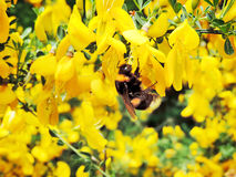 Bumblebee sitting on a yellow flower. Spring or summer scene with copy space Royalty Free Stock Photography