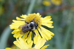 Bumblebee on Sneezeweed Flower Royalty Free Stock Photography