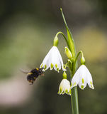 Bumblebee on a snowdrop royalty free stock photos