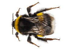 Bumblebee species Bombus terrestris Royalty Free Stock Photo