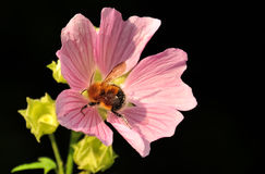 Bumblebee splotchy with pollen on pink wildflower isolated on black background. Stock Images