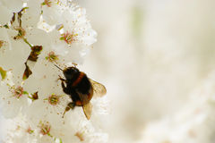 Bumblebee And Spring Blossom Stock Images
