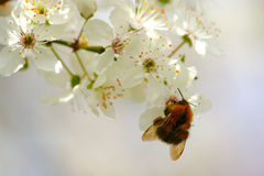 Bumblebee And Spring Blossom Stock Photos